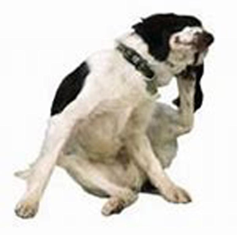 Dog scratching 2